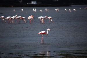 Tuzla_sulak_alan_flamingo (3)