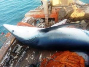 Bodrum-camgöz köpekbalığı