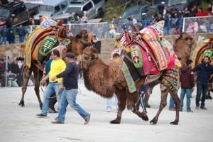 gumuslukte deve guresi festivali (1)