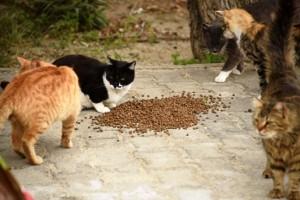 Bodrum-kediler