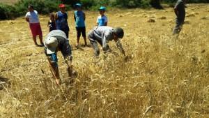 Yerel Tohumda Hasat Heyecanı (2)